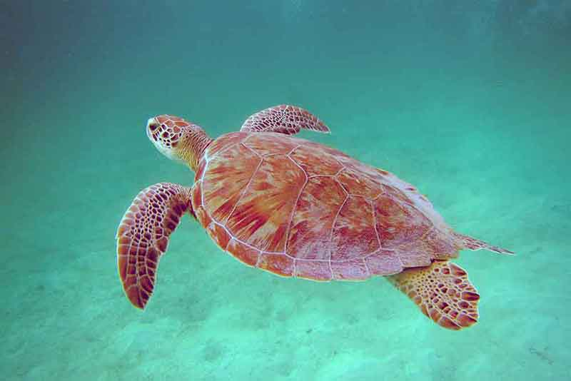 Snorkel and swim with green turtles in the Tobago Cays