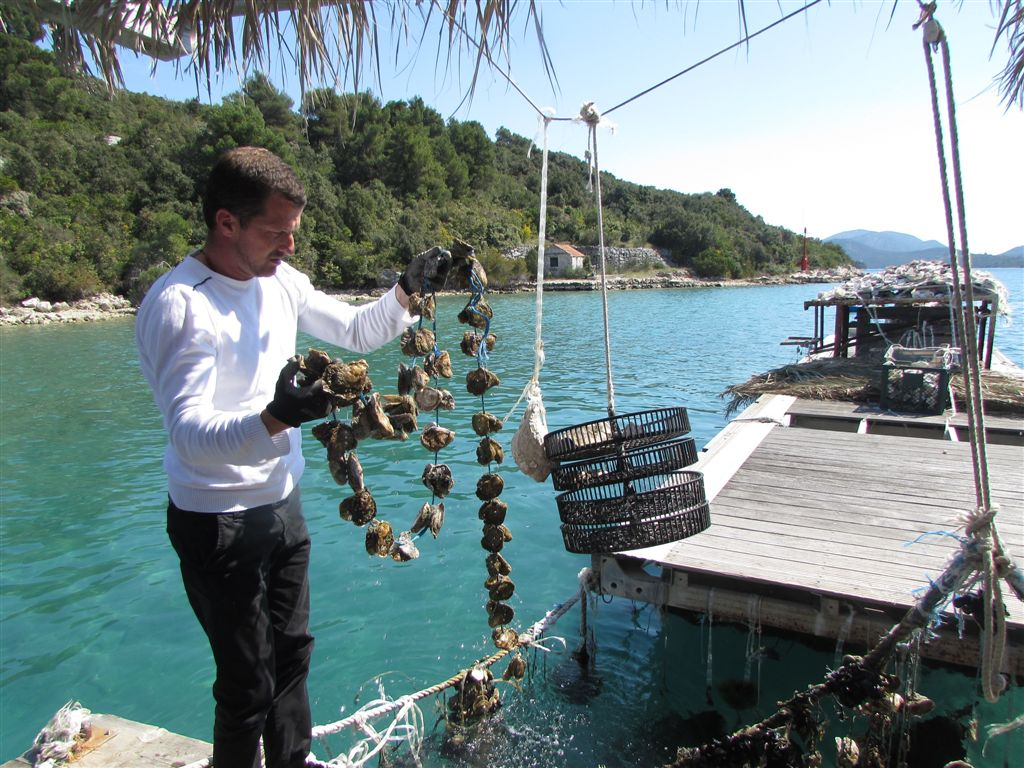 Collecting oysters in Croatia