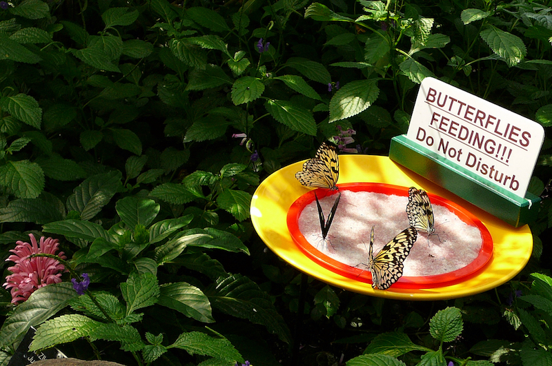 Butterflies feeding at the Niagara Parks Butterfly Conservatory (Credit: Michele Peterson)