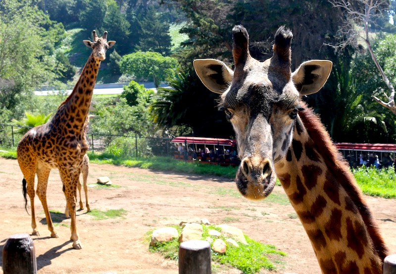 Giraffes at the Santa Barbara Zoo (Credit: Bonnie Carroll)