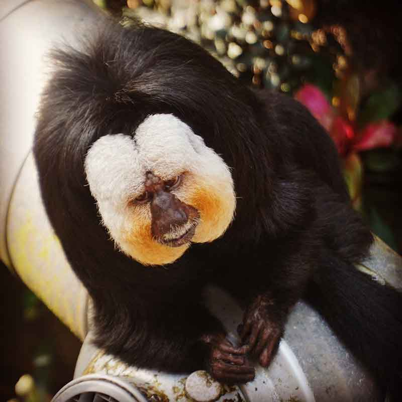 things to do in Galveston saki monkey