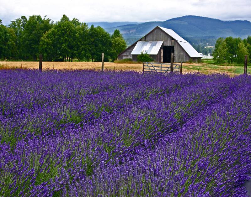 Sequim lavender field (Credit: Visit Sunny Sequim and G Gerkitz)