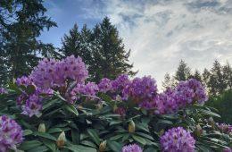 Rhodys in the Pacific Northwest