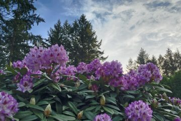 Rhodys in the Pacific Northwest
