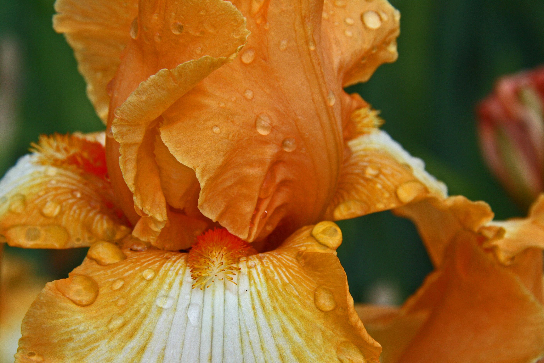 Schreiner iris