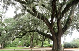 Live oak at Boone Plantation