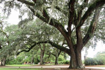 Live oak at Boone Plantation