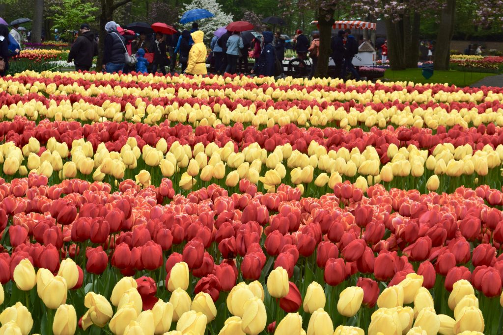 Keukenhof Tulips in their glory