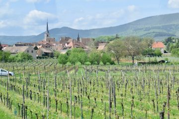 The vines in Alsace - Meeting a passionate winemaker in the Alsace Wine Region