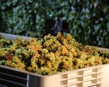 Napa Valley Grapes - Savor a Wine Experience