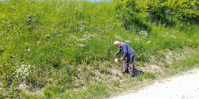 Wild flowers alongside the road to Pieniny National Park