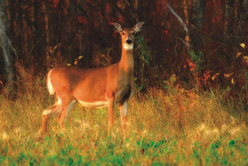 Birds Hill Park White-Tailed Deer (Credit: Shutterstock, Lorraine Swanson)
