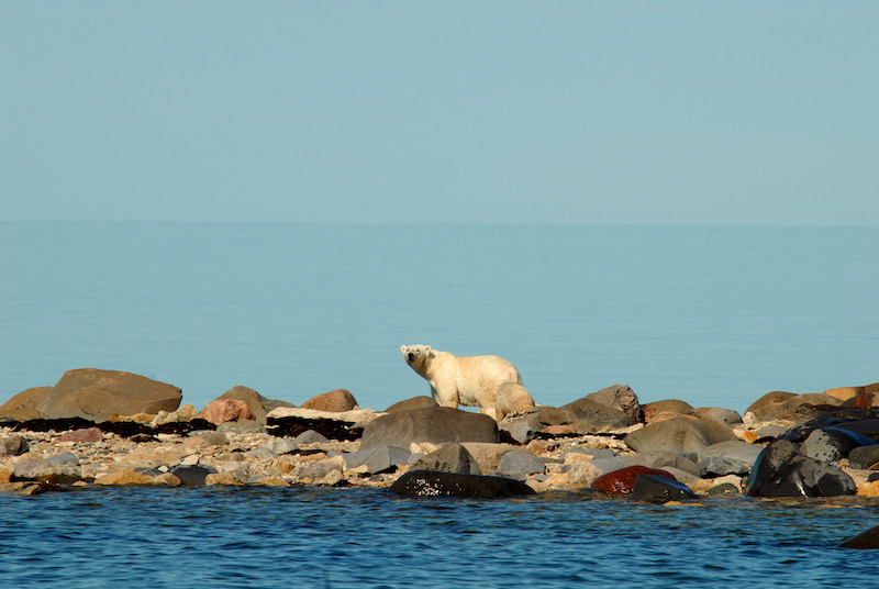 Churchill PolarBear (Credit: Canadian Tourism Commission)