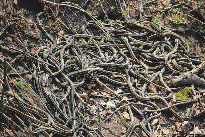 Hot Nature Spots in Manitoba and Saskatchewan - Narcisse Snake Dens (Credit: Travel Manitoba)