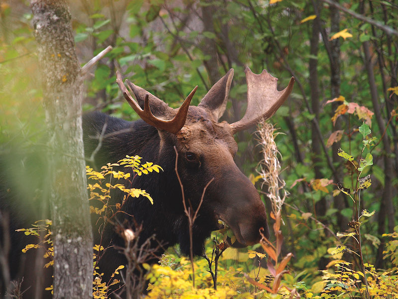 Moose at Riding Mountain National Park (Credit: Parks Canada)