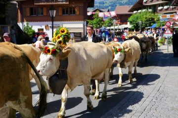 cows parade in Gstaad, Switzerland