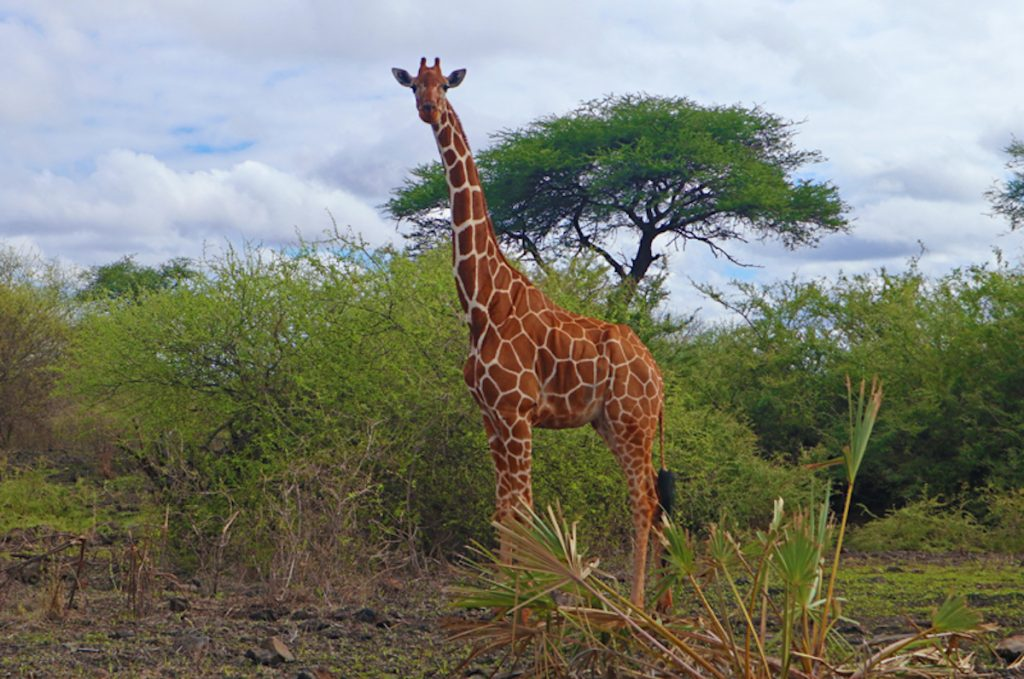 Kenya Luxury Safari Curious giraffe at Meru National Park