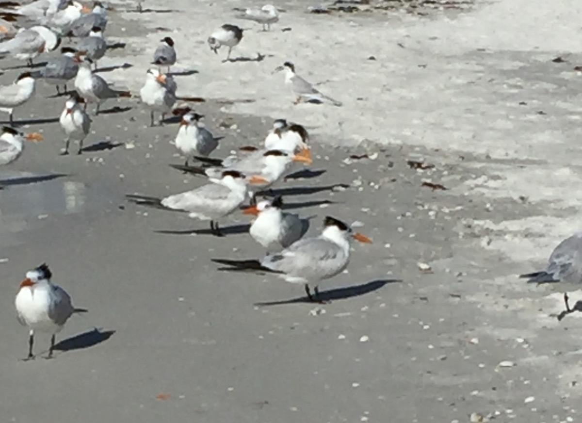 Royal Tern birds