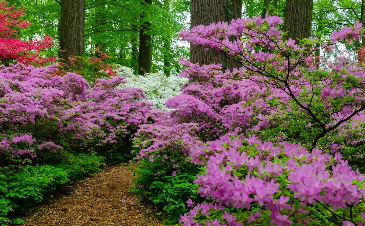 Azaleas at Winterthur Museum and Gardens in the Brandywine Valley