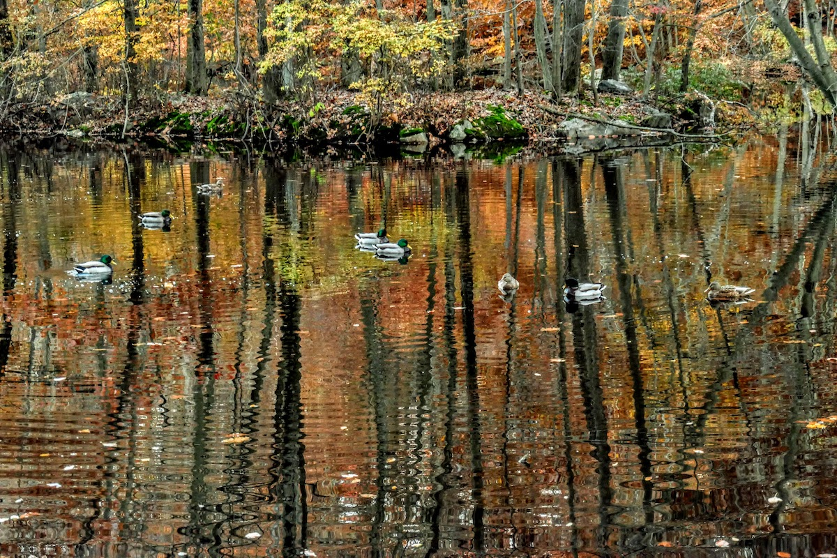 Close to Pleasantville: A pond in nearby Rockefeller State Park Preserve