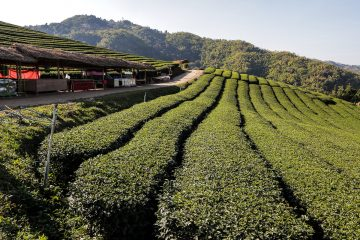 Mae Salong Tea Plantation