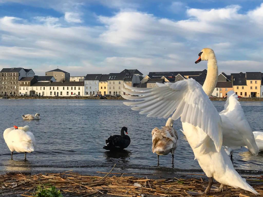 Swans congregate along the Claddagh