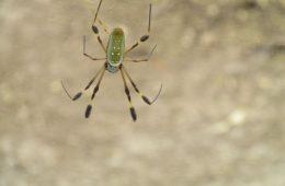 Closeup of a spider in a web in Costa Rica.