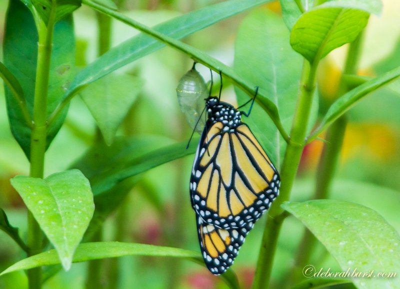 baby monarch butterflies