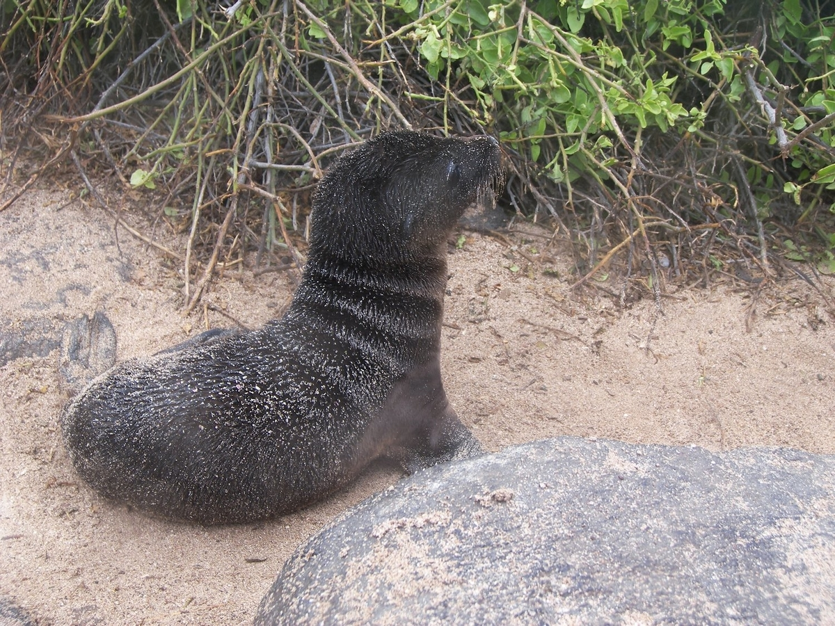 A baby sea lion on the beach sighted during our Galapagos Islands adventure