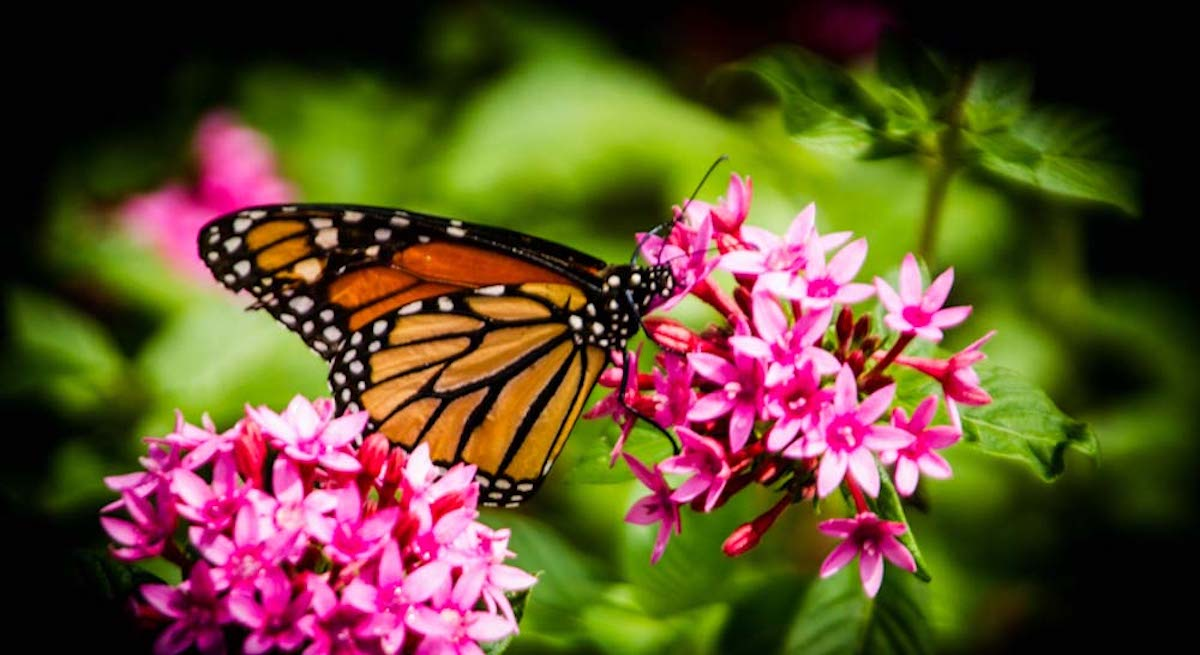 Migrating monarch butterflies are one of many species that rest in the Lake Charles Creole Natural Trail