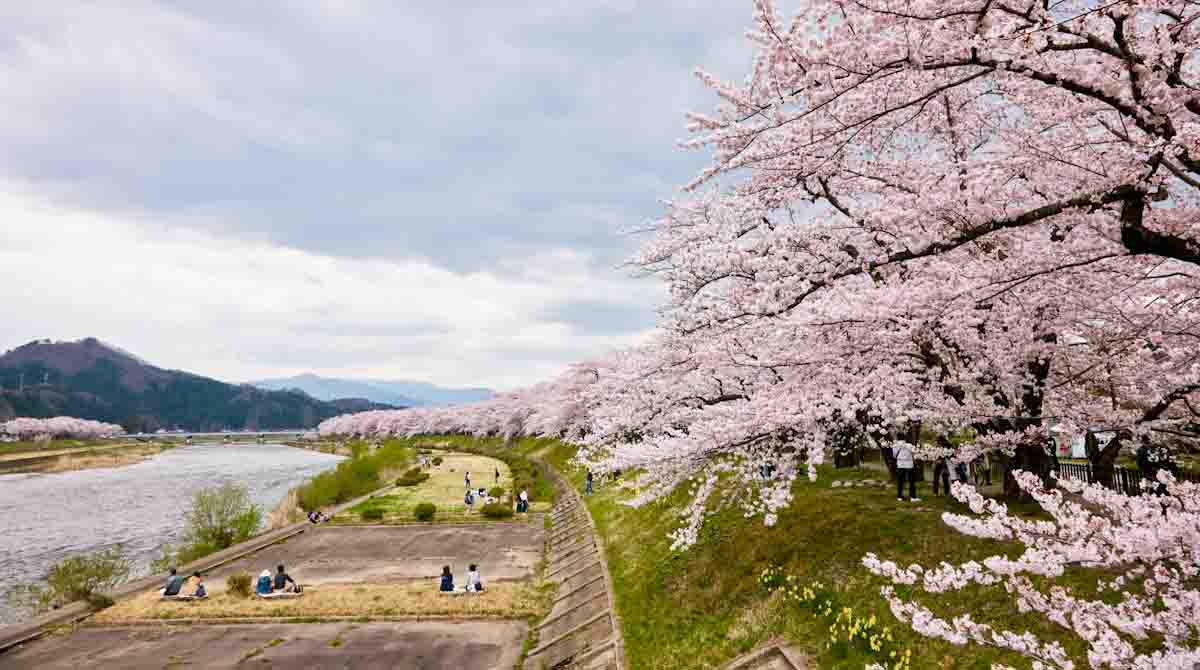 Hinokinai River cherry trees (Photo courtesy Japan National Tourism Organization)