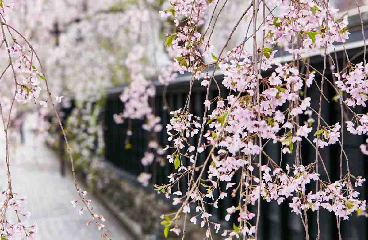 Cherry blossoms fill the Kakunodate historic district from April – May. Photo courtesy of JNTO (Japan National Tourism Organization)
