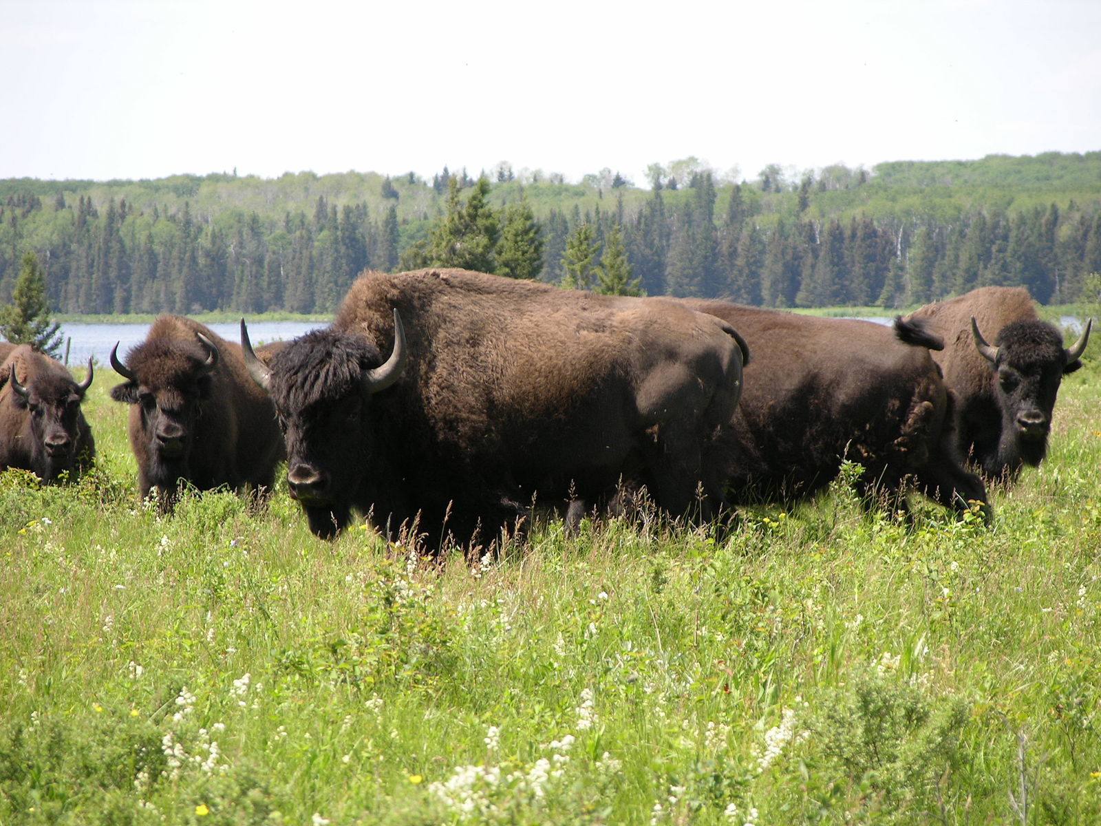 Plains bison in a field with water and forest in background