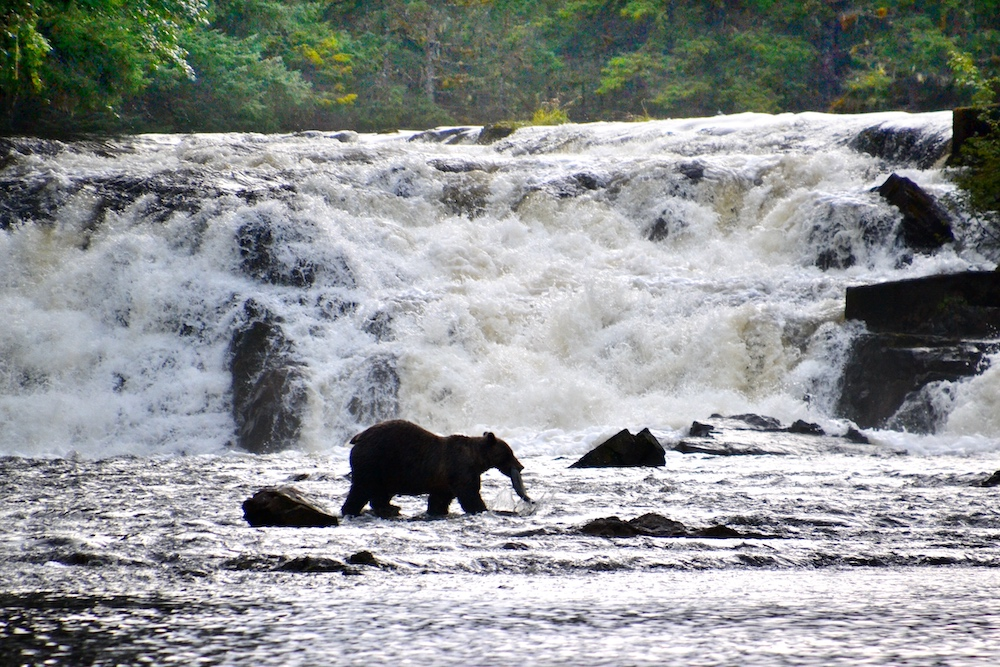Wildlife watching grizly bear fishing for salmon in Alaska
