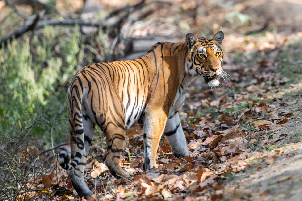 wildlife watching for a Bengal tiger