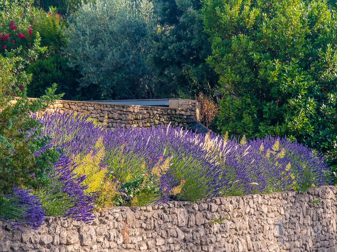 Lavender in bloom in France's Luberon