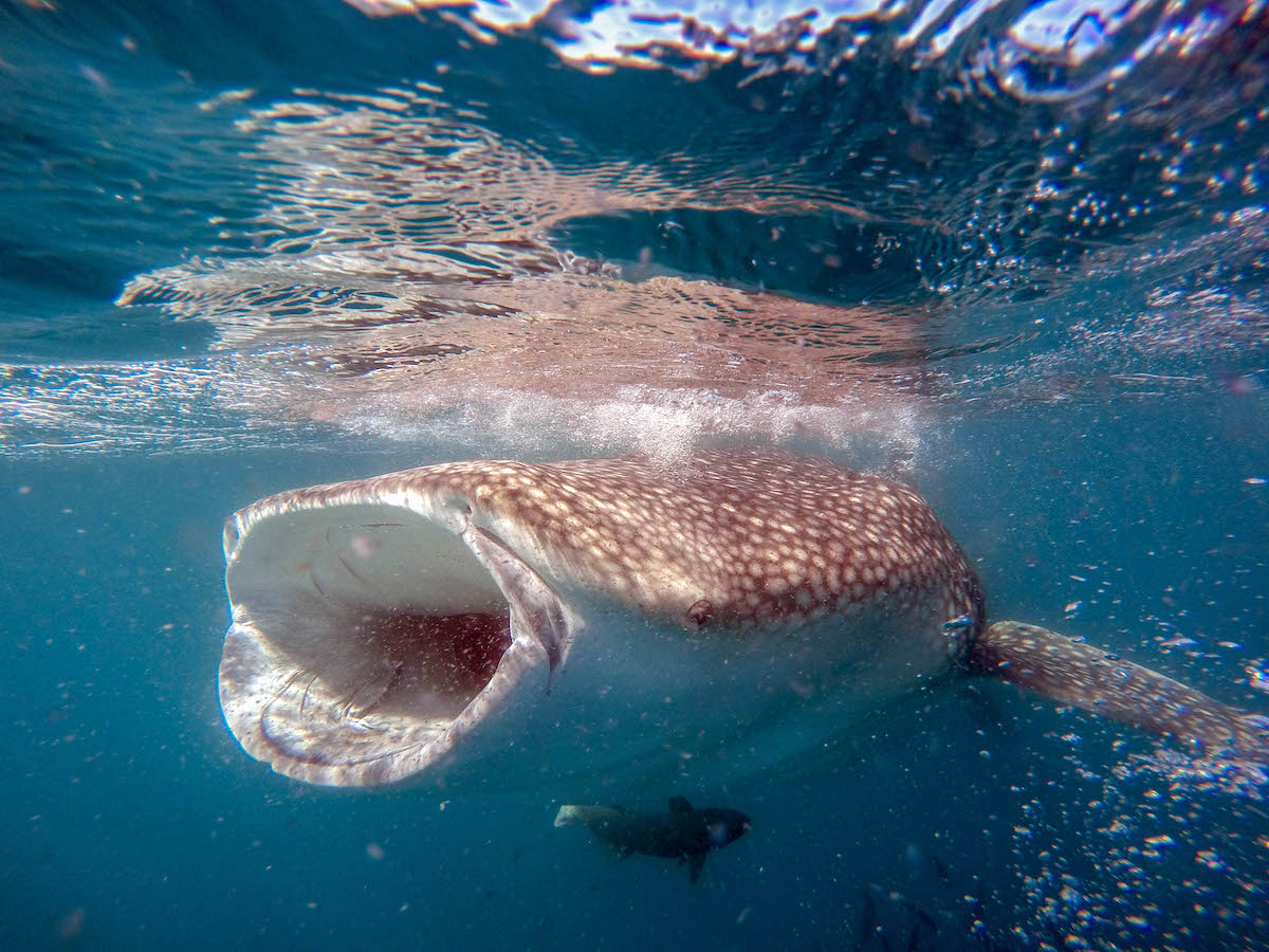 whale sharks in La Paz: Whale shark with an open mouth (credit: Cabo Adventures)