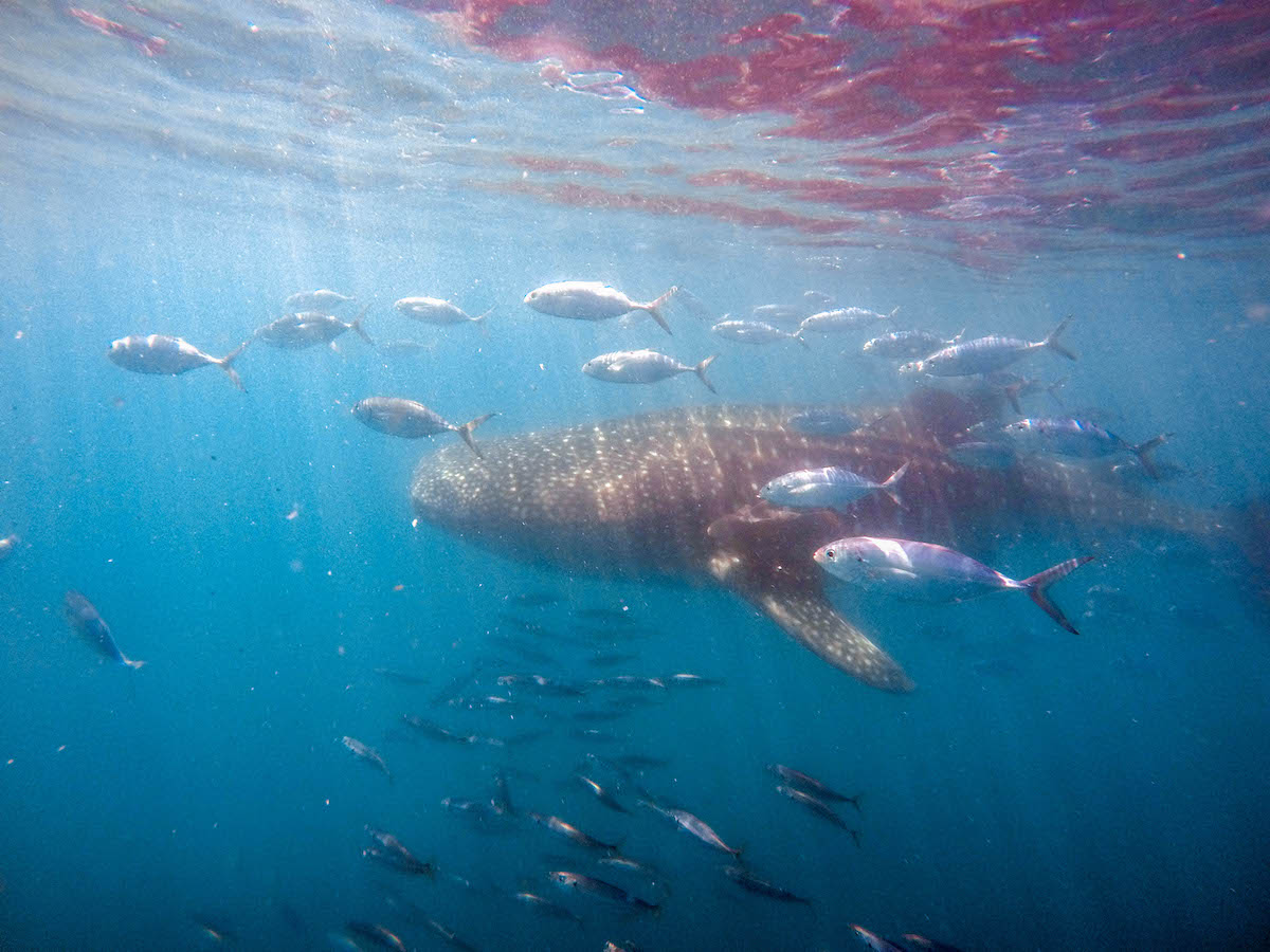 Whales sharks in la paz: Whale shark with fish
