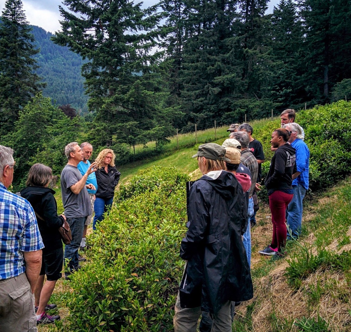 Westholme Tea Farm owner Victor Vesely (middle, gray shirt) leads a tour in the tea terraces