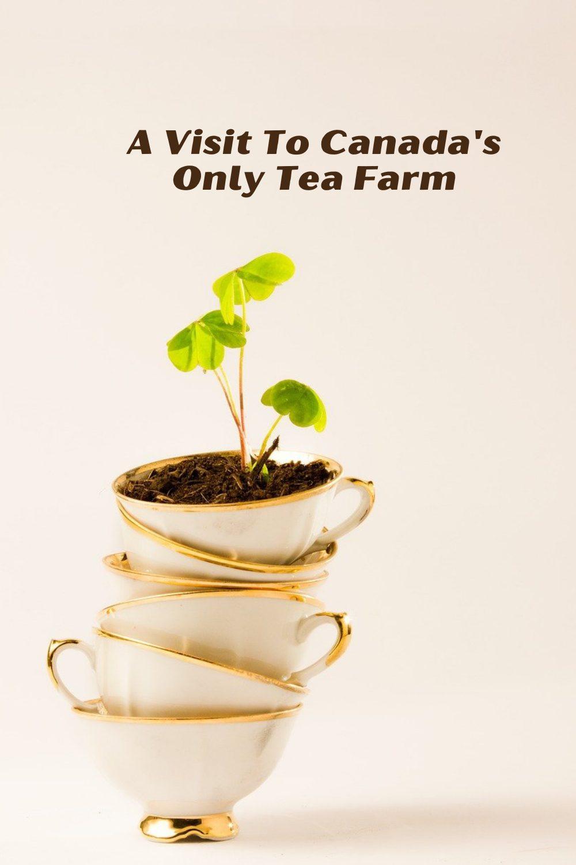 Canadian Tea Farm Pin (Pixabay)