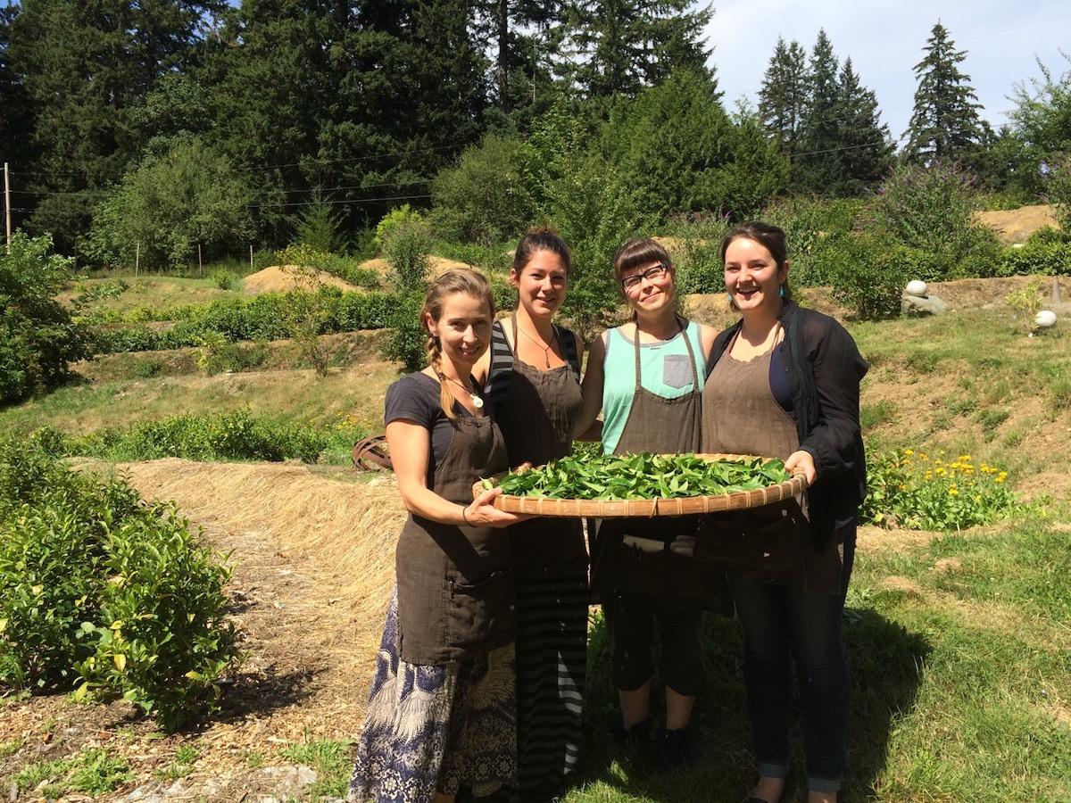 Westholme Tea Farm staff help with the harvest