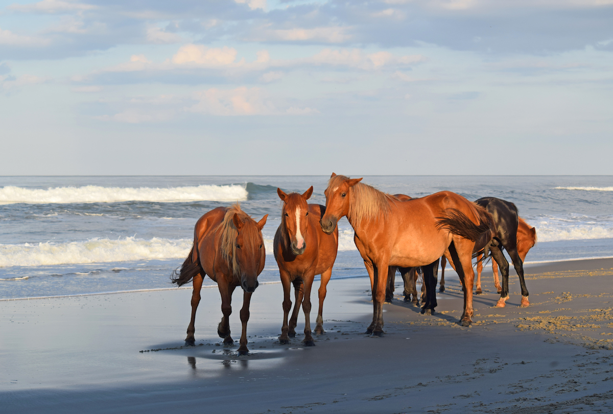 Coorolla whild horses on the beach